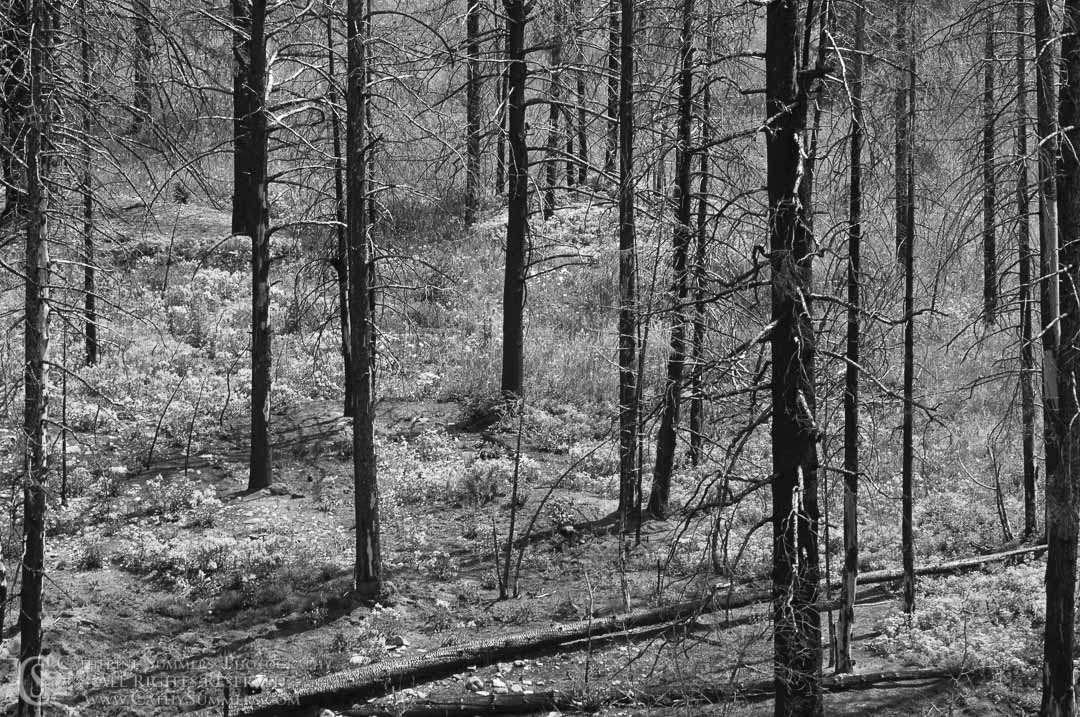 20090804_045_BW: horizontal, flowers, trees, Montana, Bob Marshall Wilderness, K Bar L, forest fire, recovery, black and white