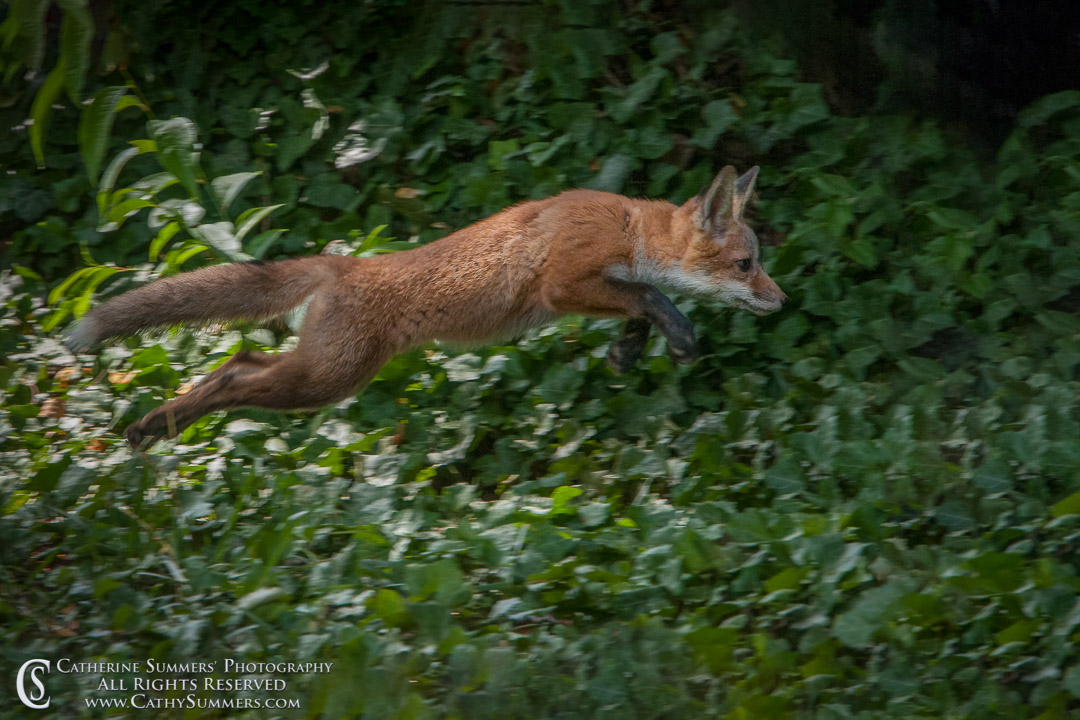 20120516_010: Abbott Lane, fox, ivy, kits, leaping