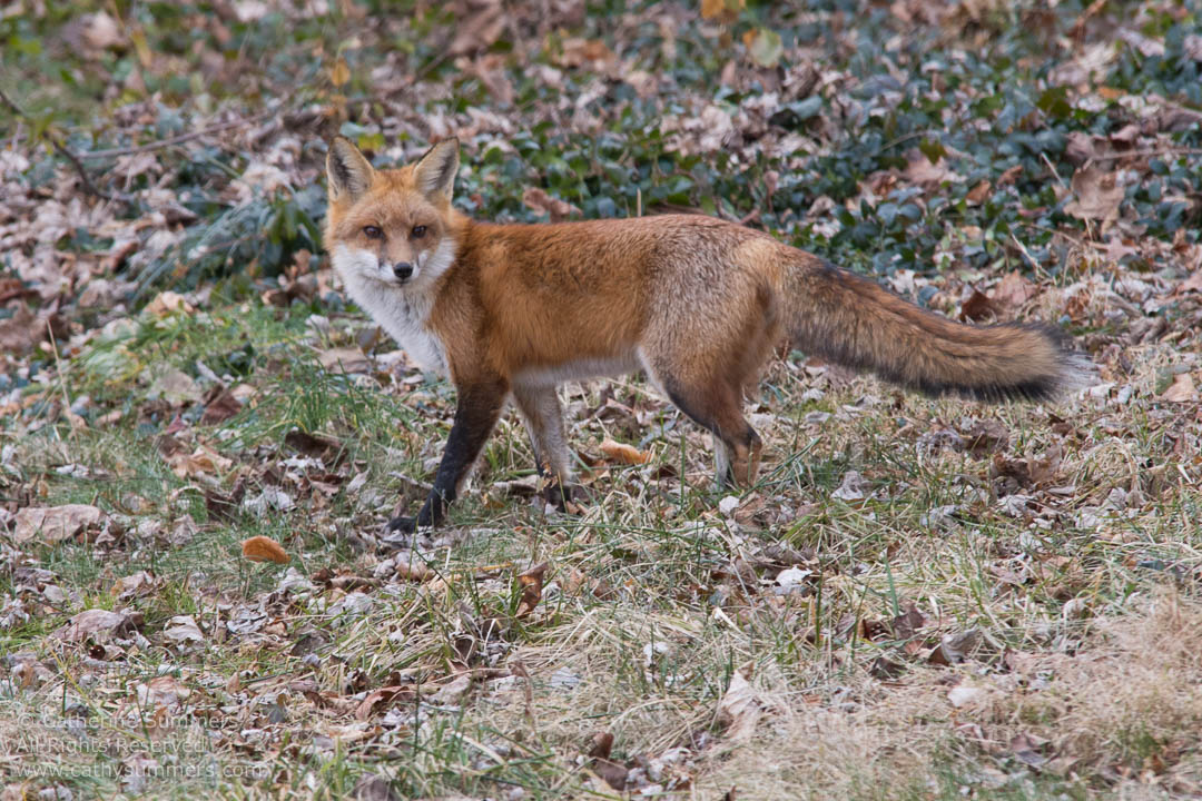Red Fox Standing on Leaf Covered lawn: Falls Church, Virginia