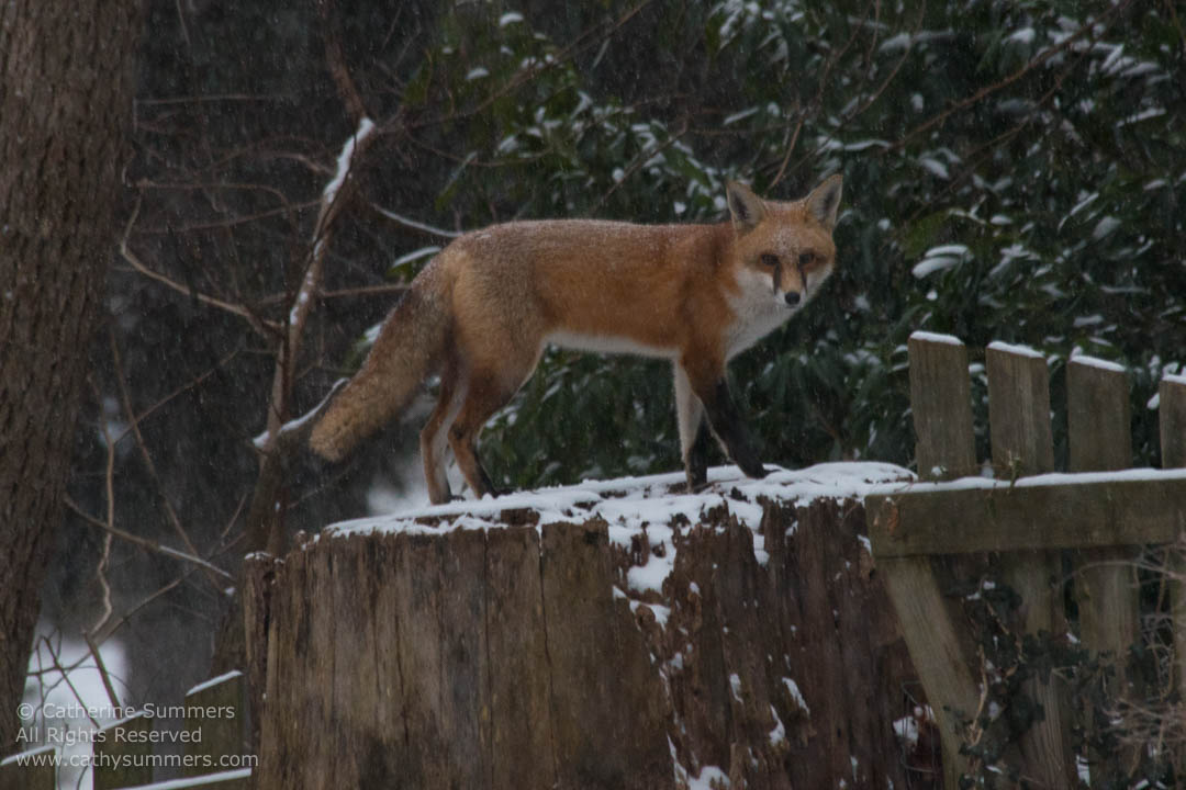 Red Fox Standing on a Snow Dusted Stump: Falls Church, Virginia