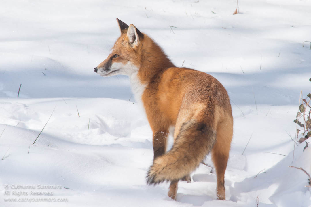 Red Fox Standing on the Snow: Falls Church, Virginia