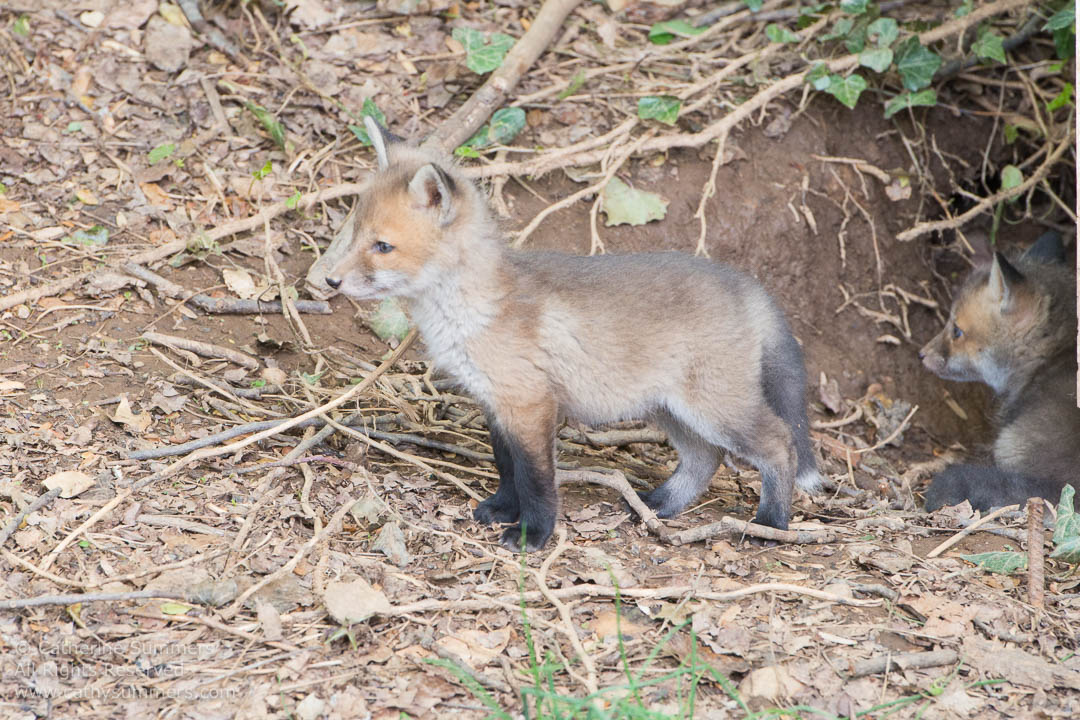 Fox Kits Outside Their Den Under my Shed: Falls Church, Virginia