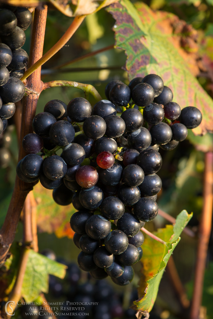 20150906_225: vertical, grapes, Knight's Gambit