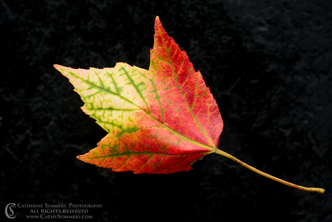 20170828_007: macro, red, yellow, maple leaf, on black