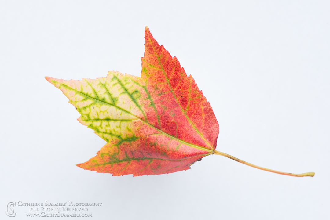 20170828_008: macro, red, yellow, maple leaf, on white