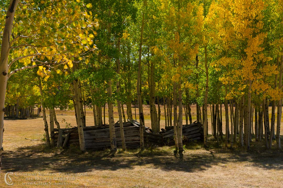 Abandoned Cabin Surrounded by Aspens on an Autumn Afternoon