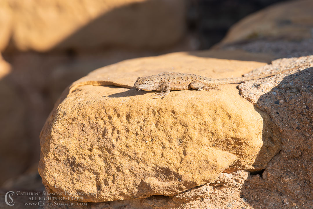 Lizard in the Sunlight at Far View Pueblo: Mesa Verde National Park