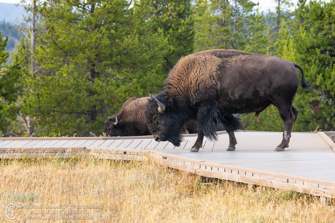 20180922_058: Yellowstone National Park, bison