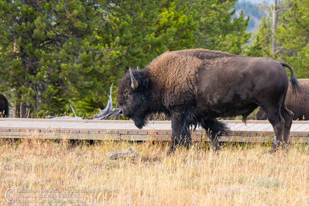 20180922_060: Yellowstone National Park, bison