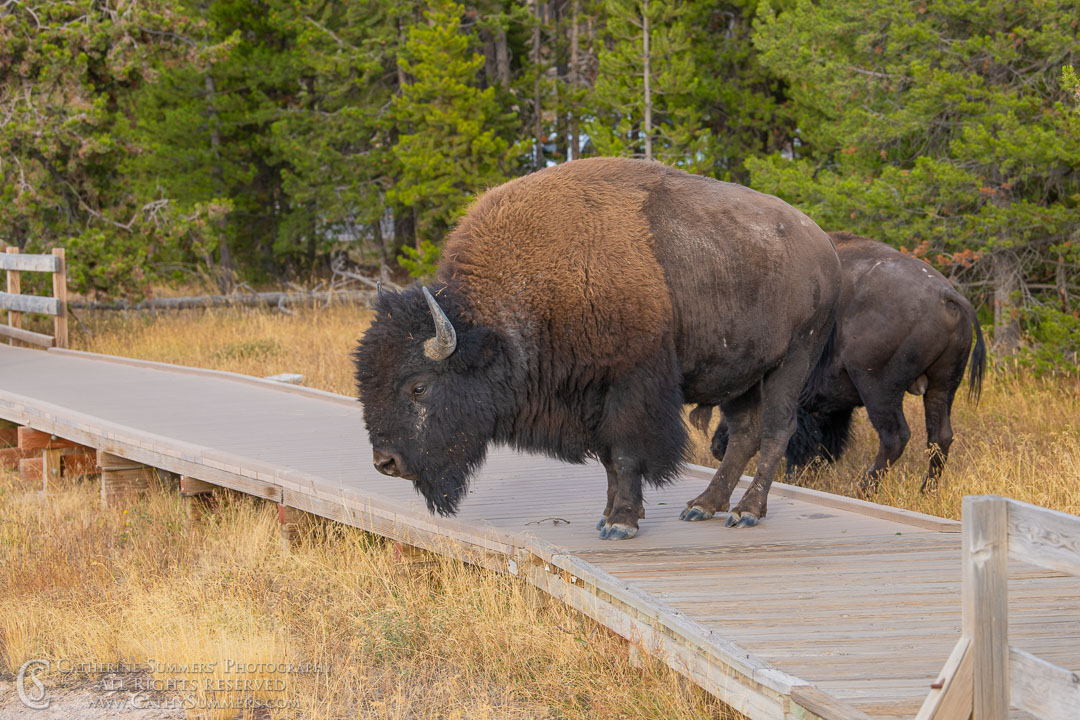 20180922_067: Yellowstone National Park, bison
