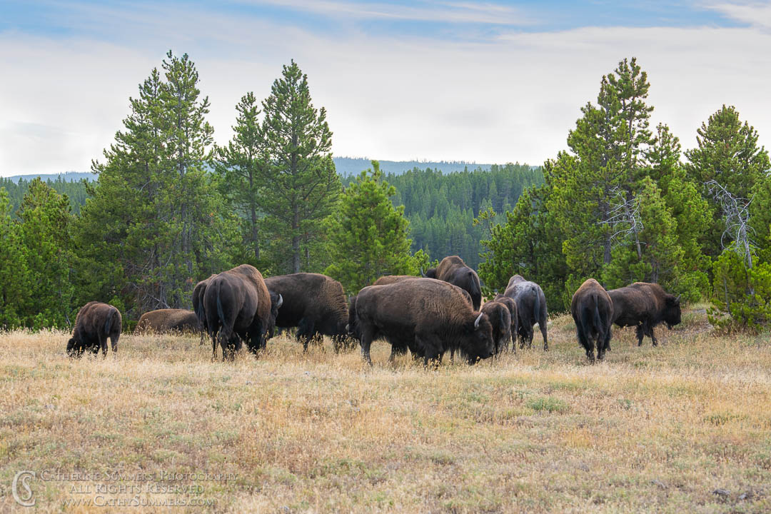 20180922_101: Yellowstone National Park, bison