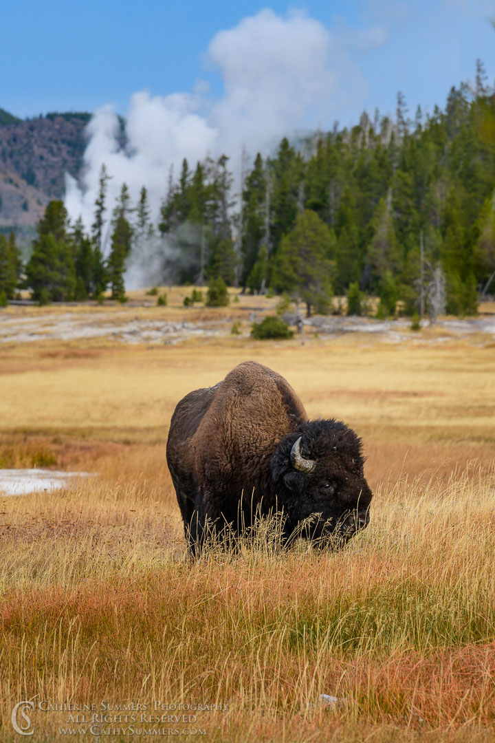 20180923_034: Firehole River, Yellowstone National Park, bison