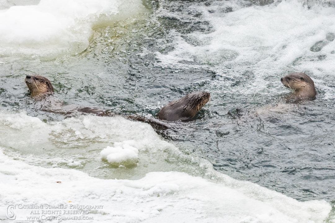 Otters in the Yellowstone River Above the Falls