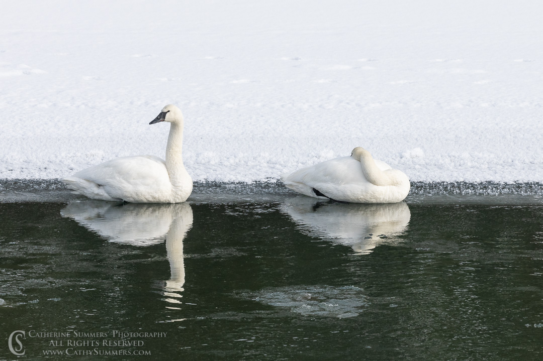 Trumpeter Swans on the Yellowstone River