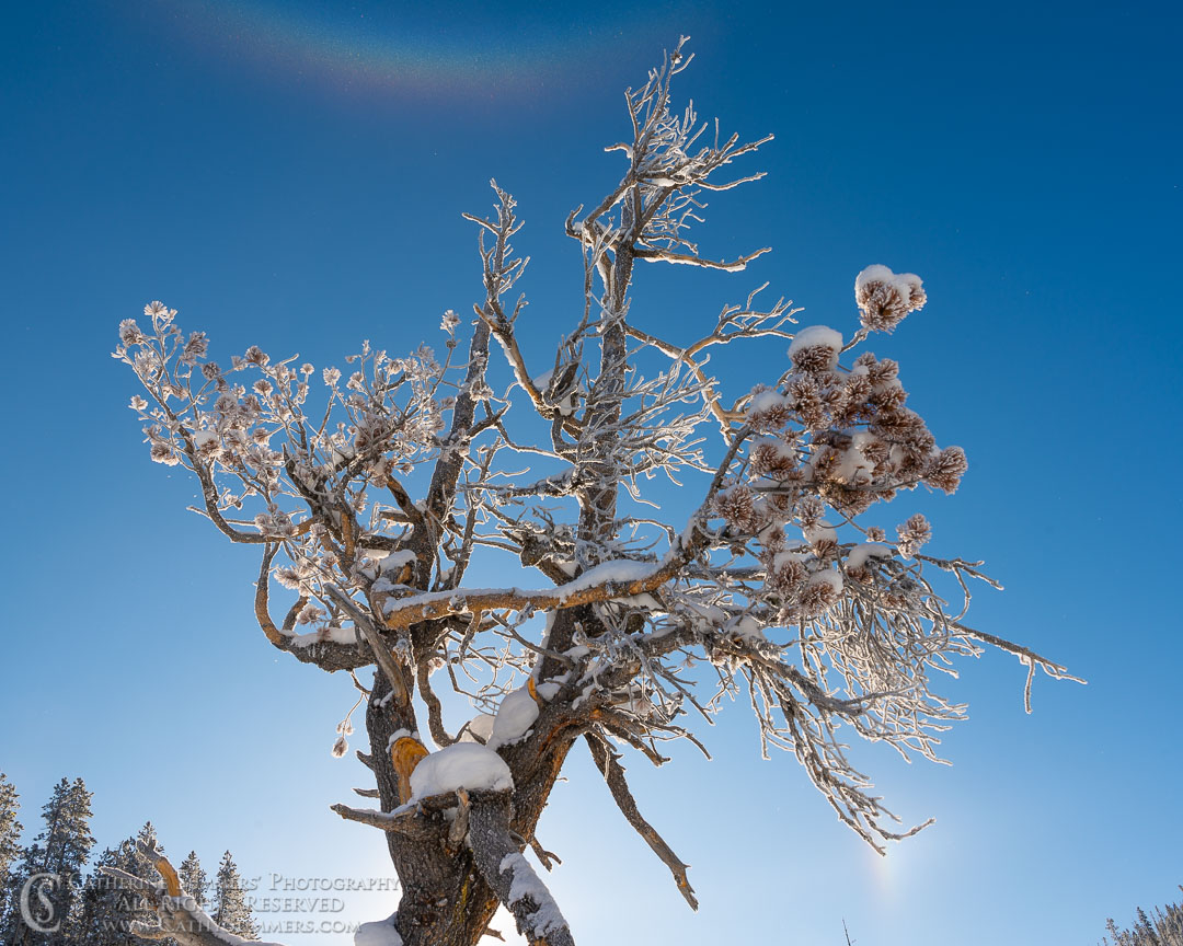 Circumzenithal Arc in the Blowing Ice Crystals Above a Backlit, Rime Ice Dusted Pine tree