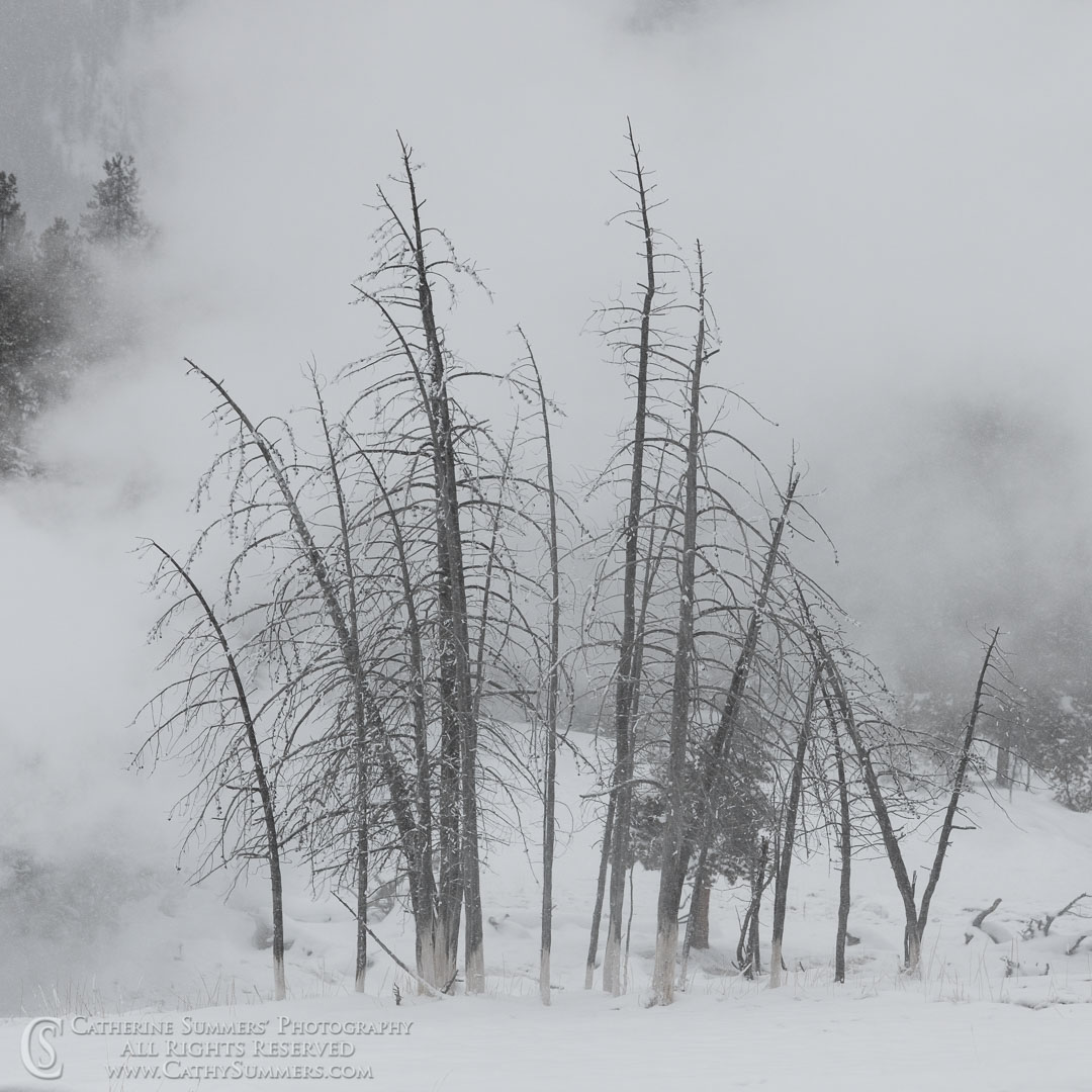 20191231_057: trees, Winter, snow, square, Upper Geyser Basin, steam