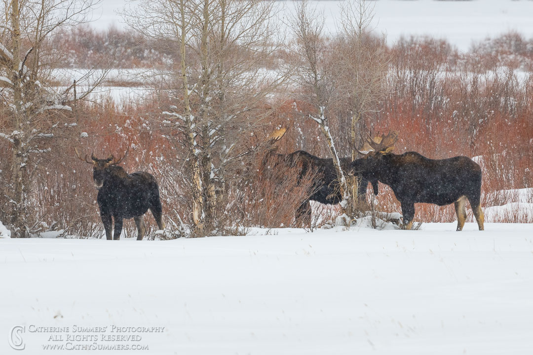Bull Moose Foraging in the Willows Along the Lamar River