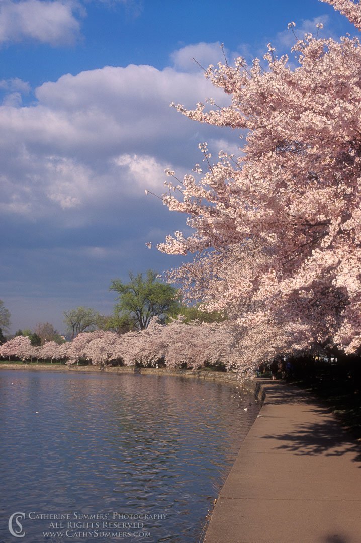 91_0383: Cherry Trees and Tidal Basin