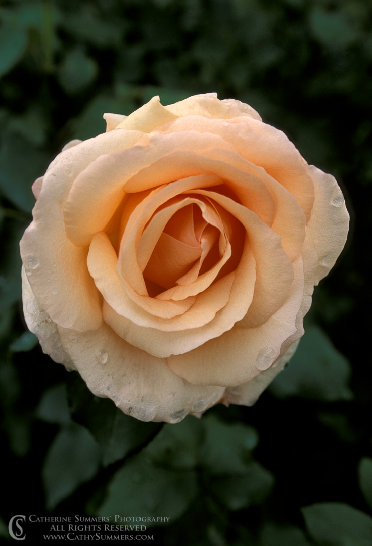 Apricot Beauty Rose