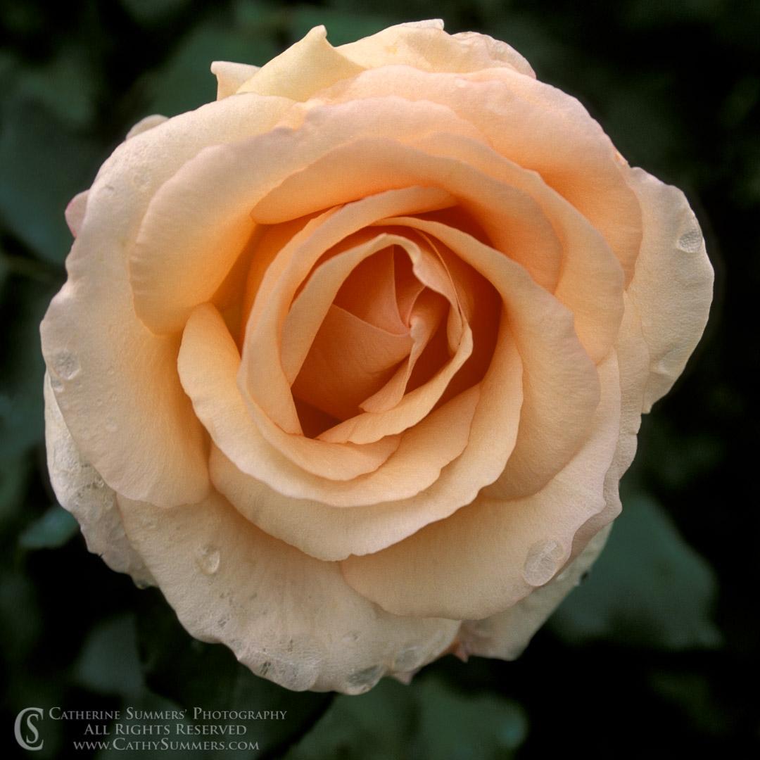 Apricot Beauty Rose