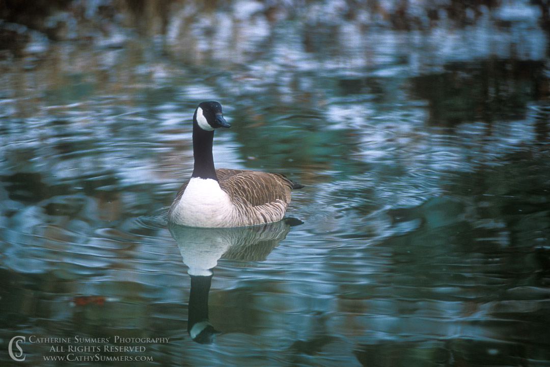 93_0110: Canadian Goose in C&O Canal