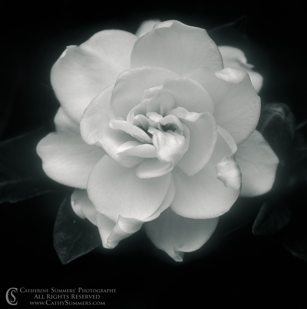 93_0862_BW: Gardenia in Bloom (Black and White)