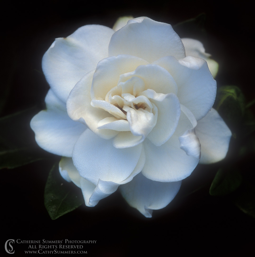 Gardenia in Bloom