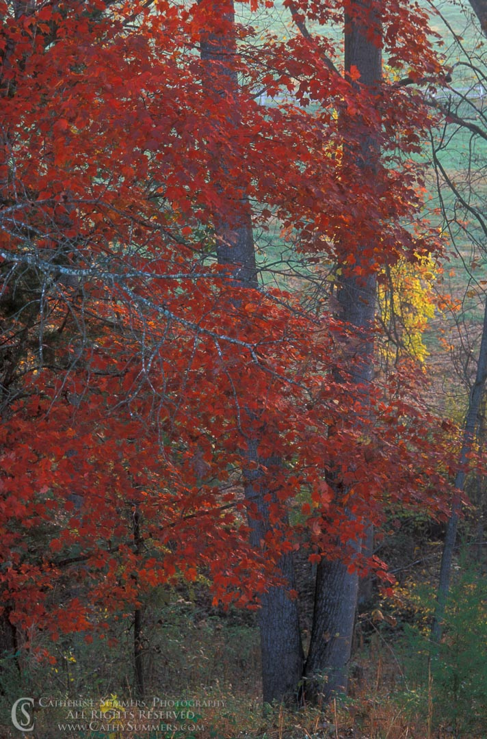Title: Maple Tree on an Autumn Morning; Keywords: autumn, maple, vertical, Virginia