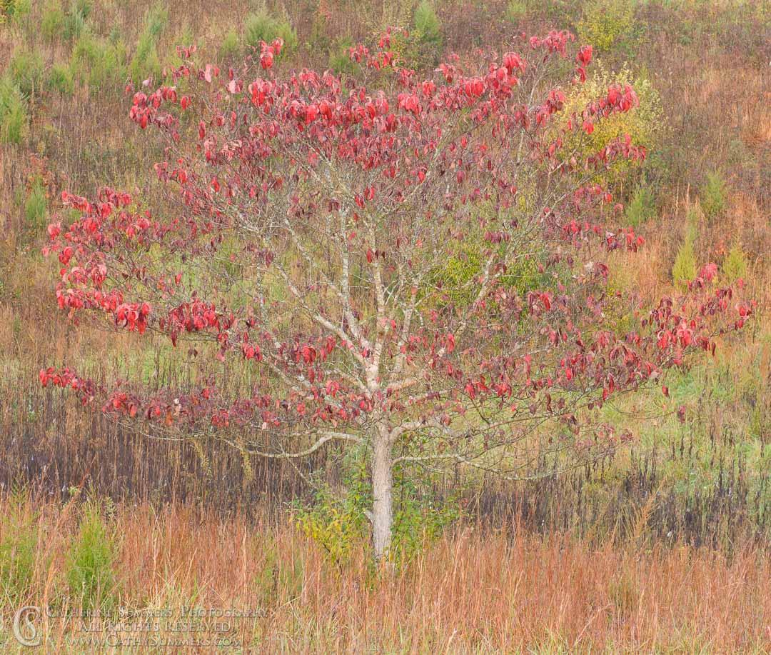Dogwood in Field #1