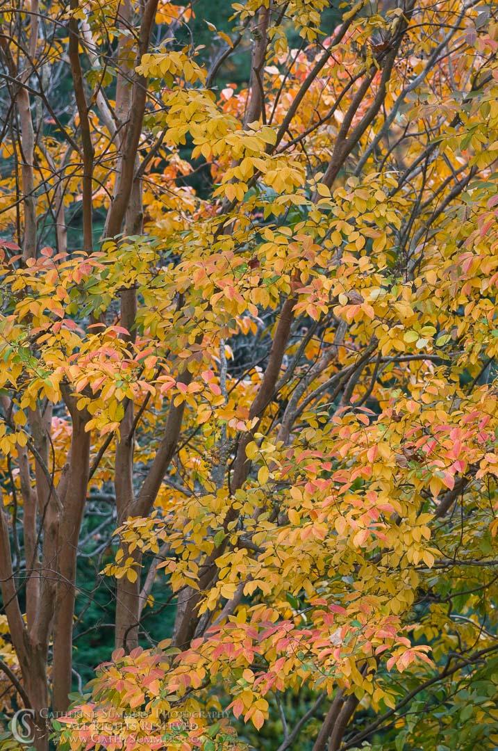 Autumn Crape Myrtle #3