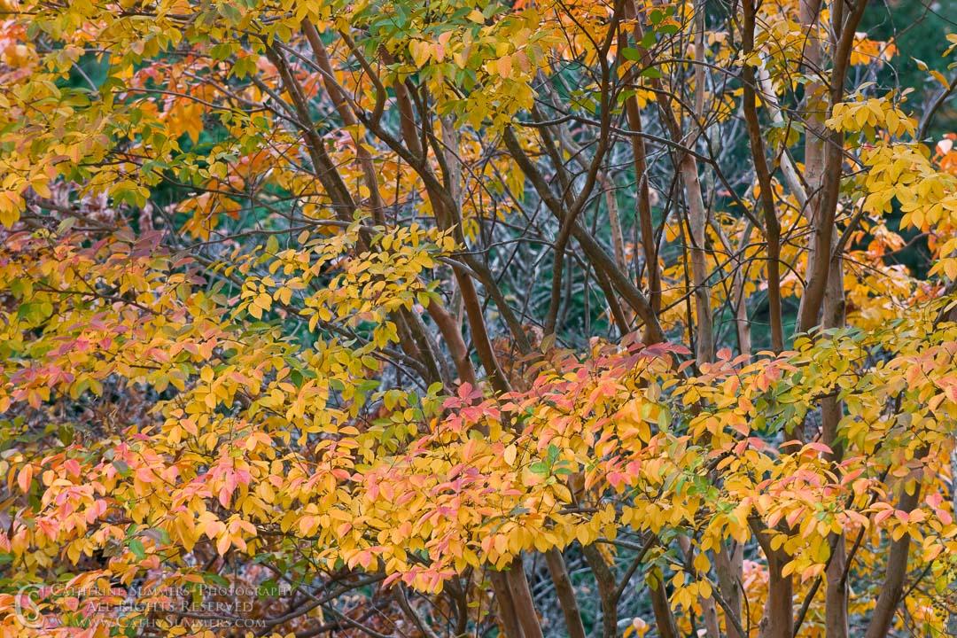 Autumn Crape Myrtle #1