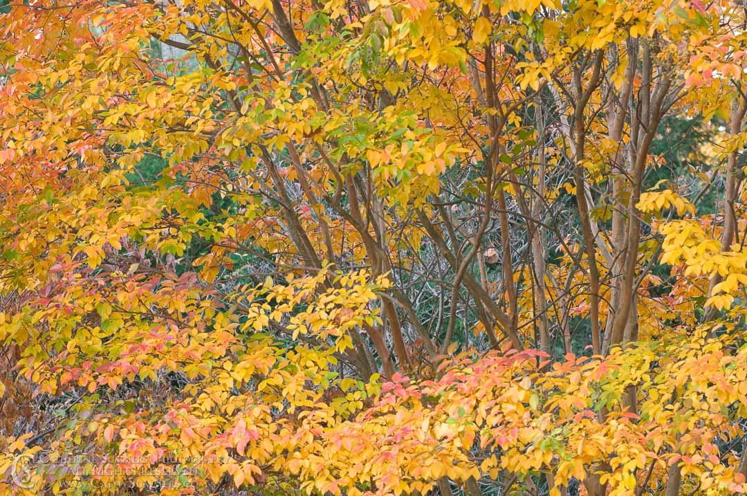 Autumn Crape Myrtle #2