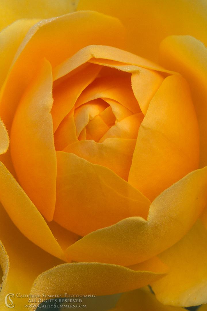 Innocence: Yellow Rose Macro #1