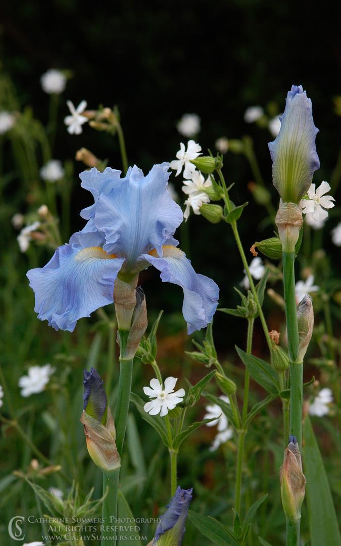 Bearded Iris #2