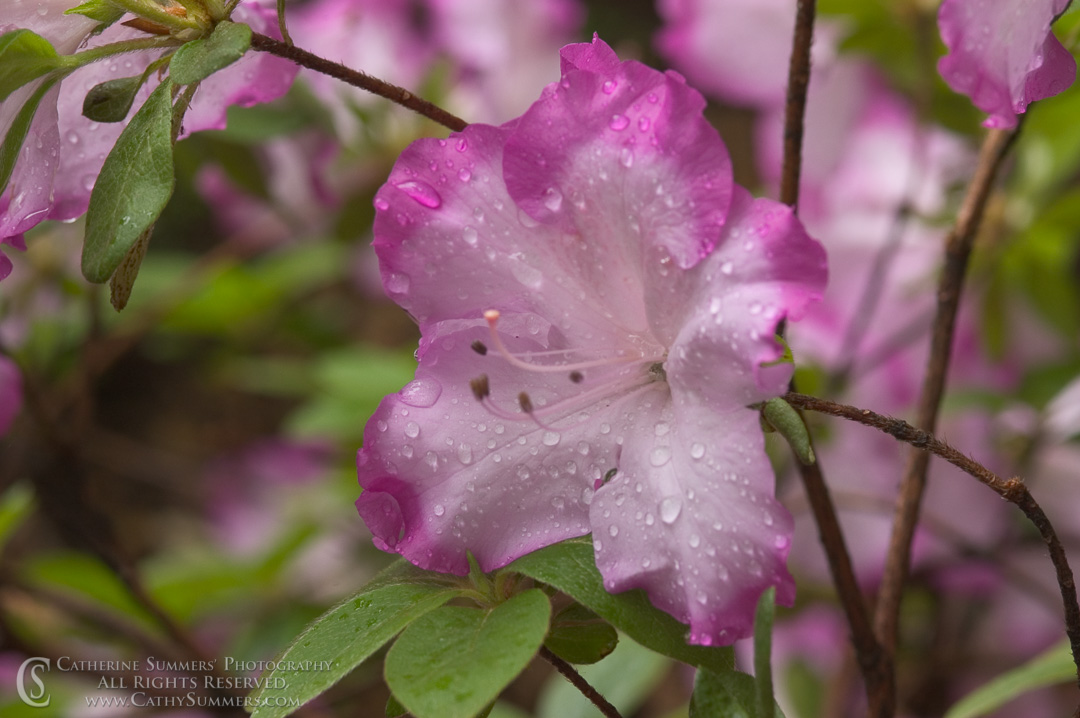 Title: Azalea #3; Keywords: azalea, flowers, horizontal, rain