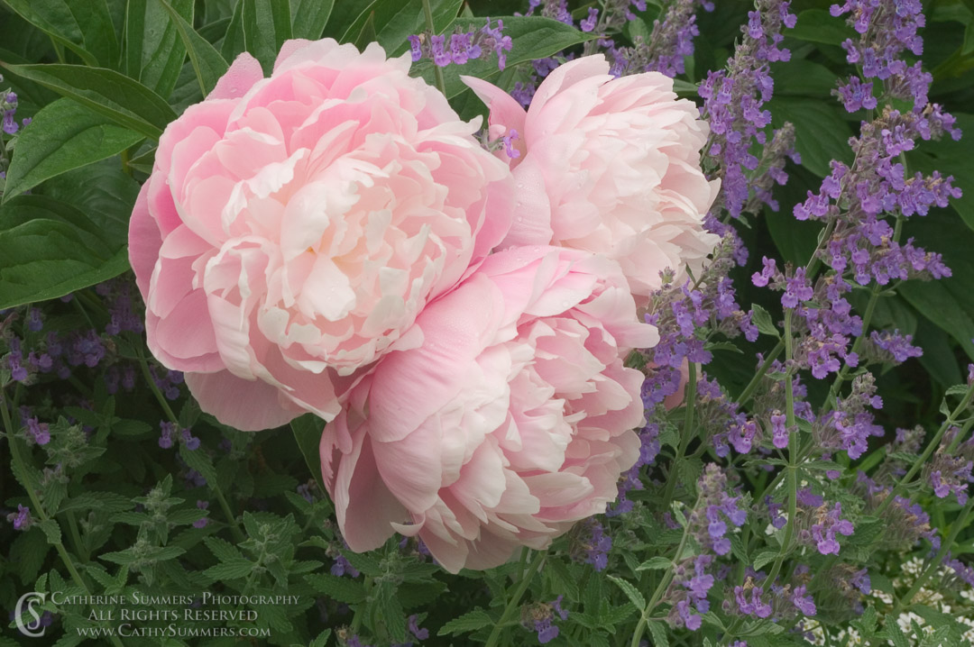 Peonies and Catamint #1
