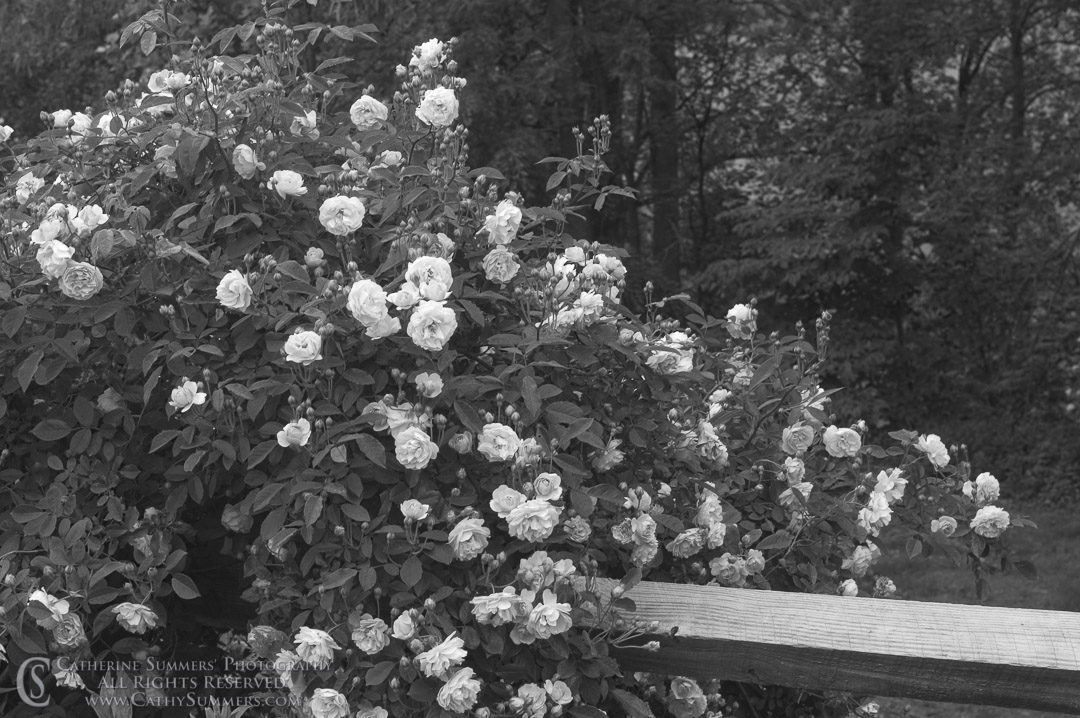 FL_2006_031_BW: horizontal, flowers, fence, rose