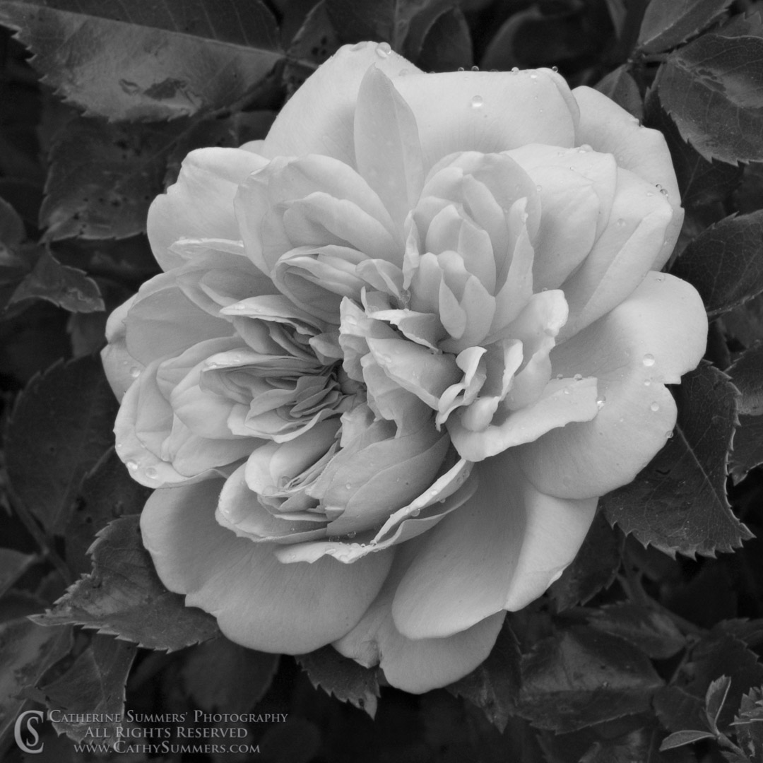 FL_2006_032_BW: horizontal, flowers, macro, rose, pink