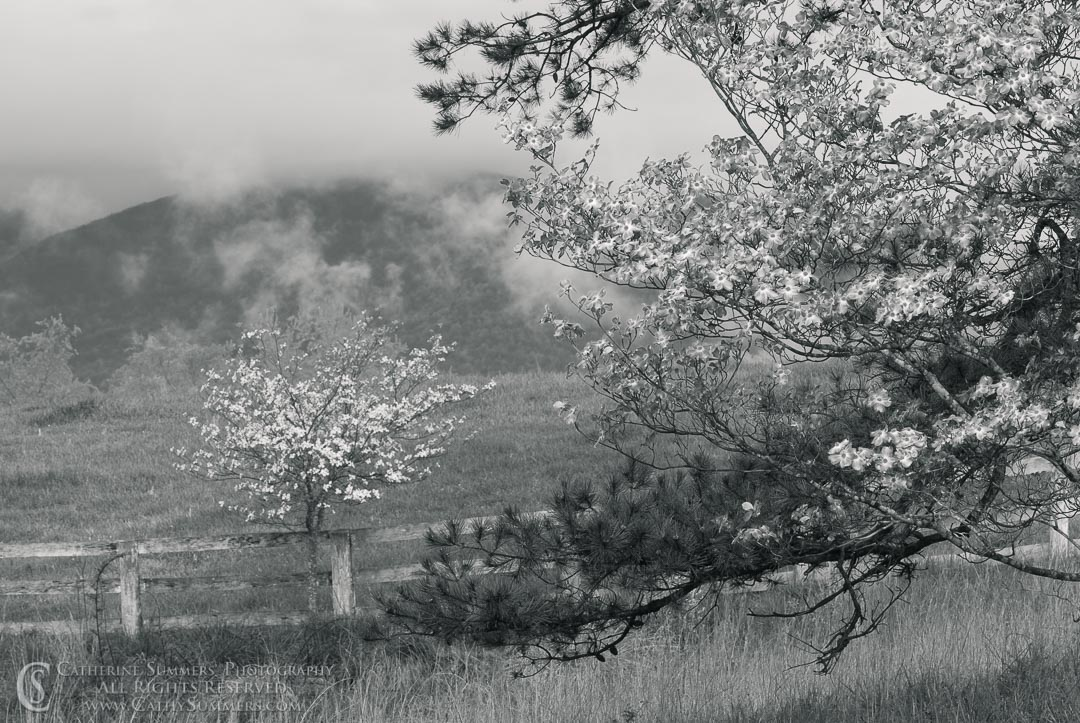 FL_2008_010_BW: horizontal, flowers, spring, dogwood, pink, Blue Ridge Mountains